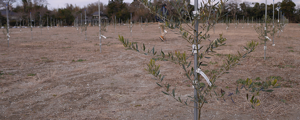 植えられたオリーヴの木