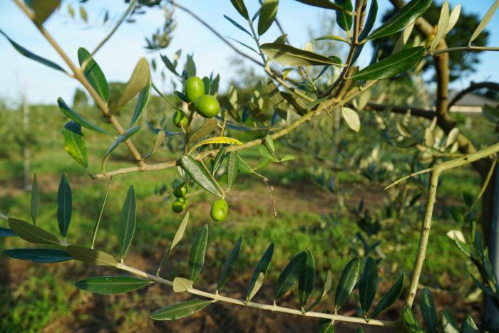 オリーヴの木